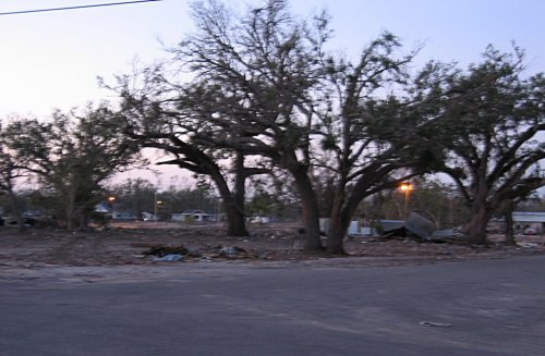 Damaged oak trees